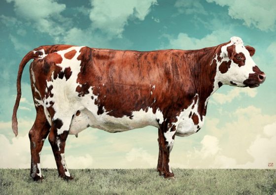 La Vache Normande by Evi Antonio at the Saffron Walden Gallery