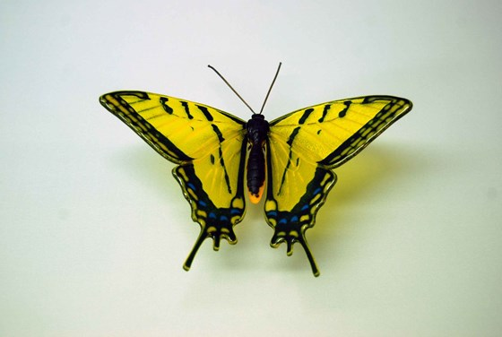 Yellow Swallowtail Butterfly by Laura Hart at the Saffron Walden Gallery