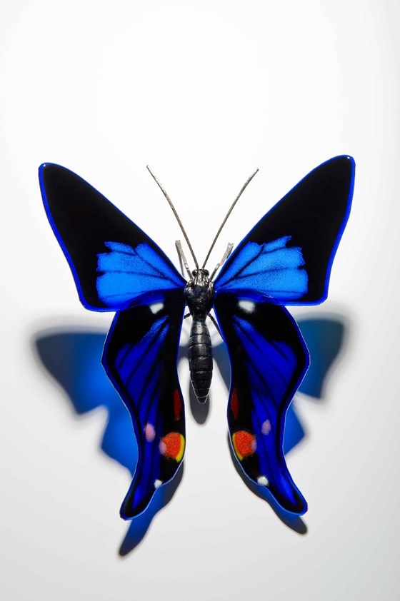 Periander Metalmark Butterfly by Laura Hart at the Saffron Walden Gallery